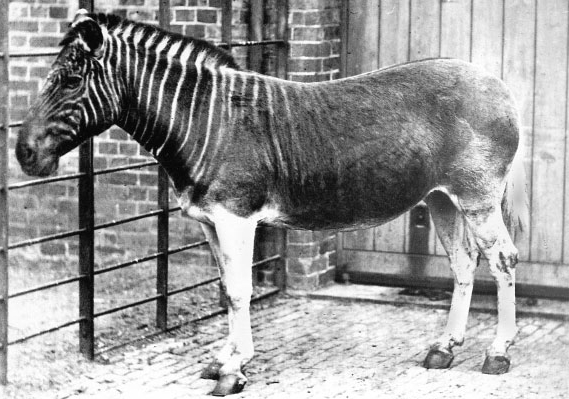 London Zoo quagga