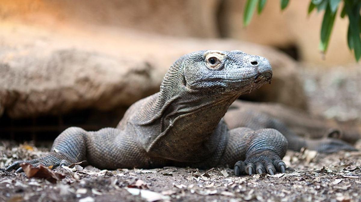 London Zoo komodo dragon