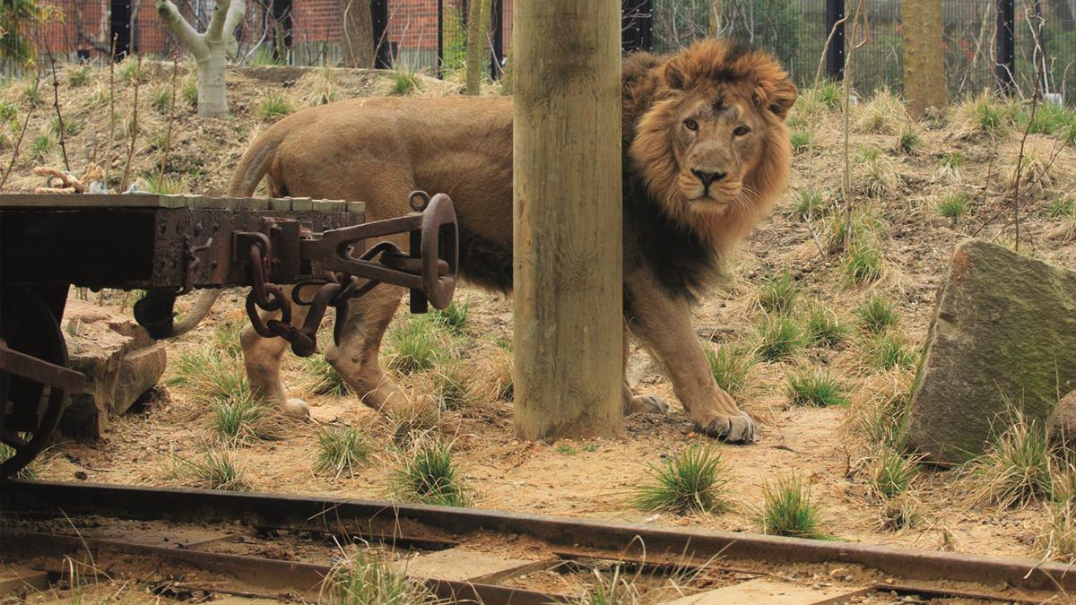 London Zoo lion